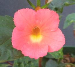 Achimenes peachpink flowers with a clear yellow throat i have grown this one for several years it does better some than others mightylinksfo Image collections